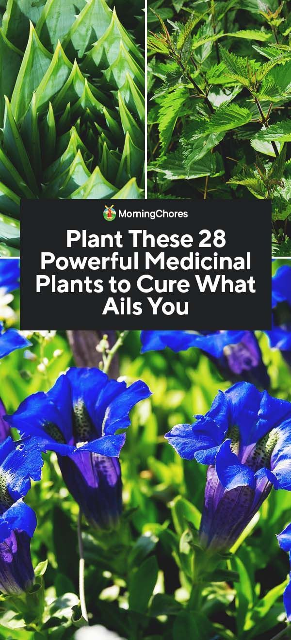28 Powerful Medicinal Plants to Plant in Your Garden -   16 plants Green projects