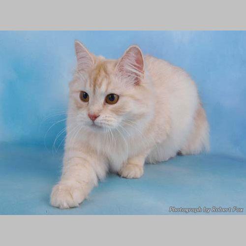 The Siberian Cat Club The Siberian Cat Siberian Cat Cats