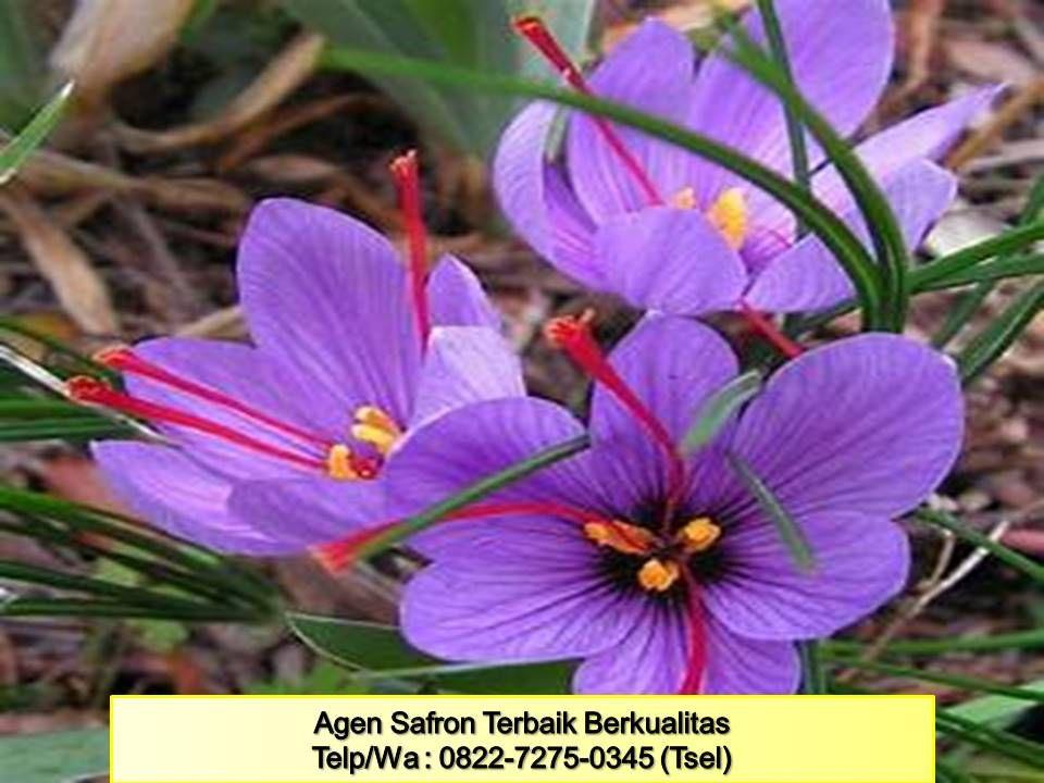 Terbaik Wa 0812 3252 2251 Tsel Putik Bunga Saffron Batam Nasha Saffron Bunga Penjual Bunga