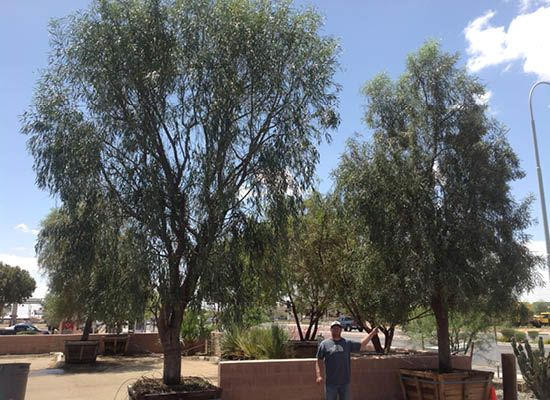 Willow Acacia For Fast Growing Desert Trees Moon Valley Nursery