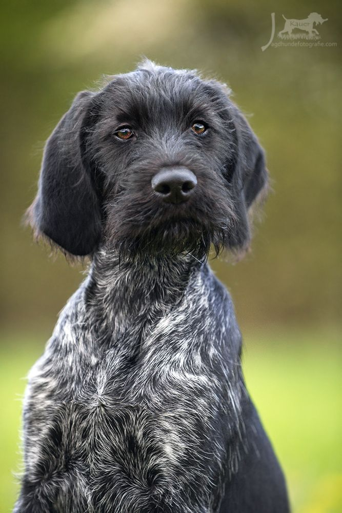 DD, Deutsch Drahthaar, Vorstehhund, whirehaired german Pointer, gundog, jagdhund, jagdhundefotografie, gundogphotos, hundefotos, hundefotografie, julia kauer, welpe, puppy