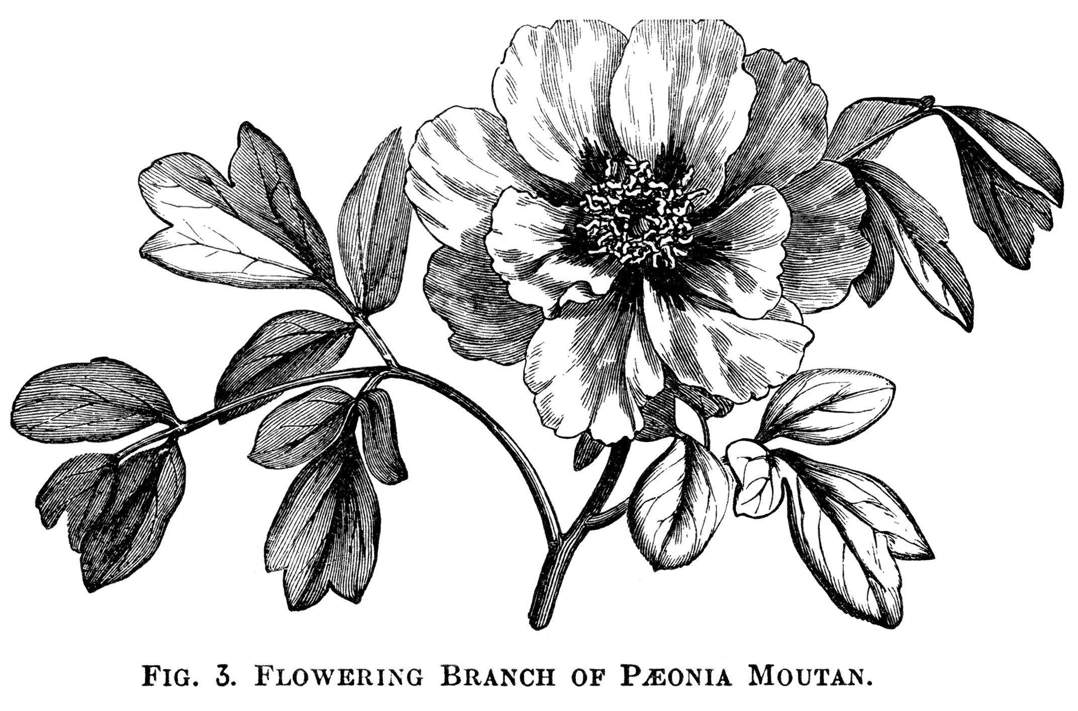 Moutan Paeonia Peony Clip Art Botanical Engraving Black