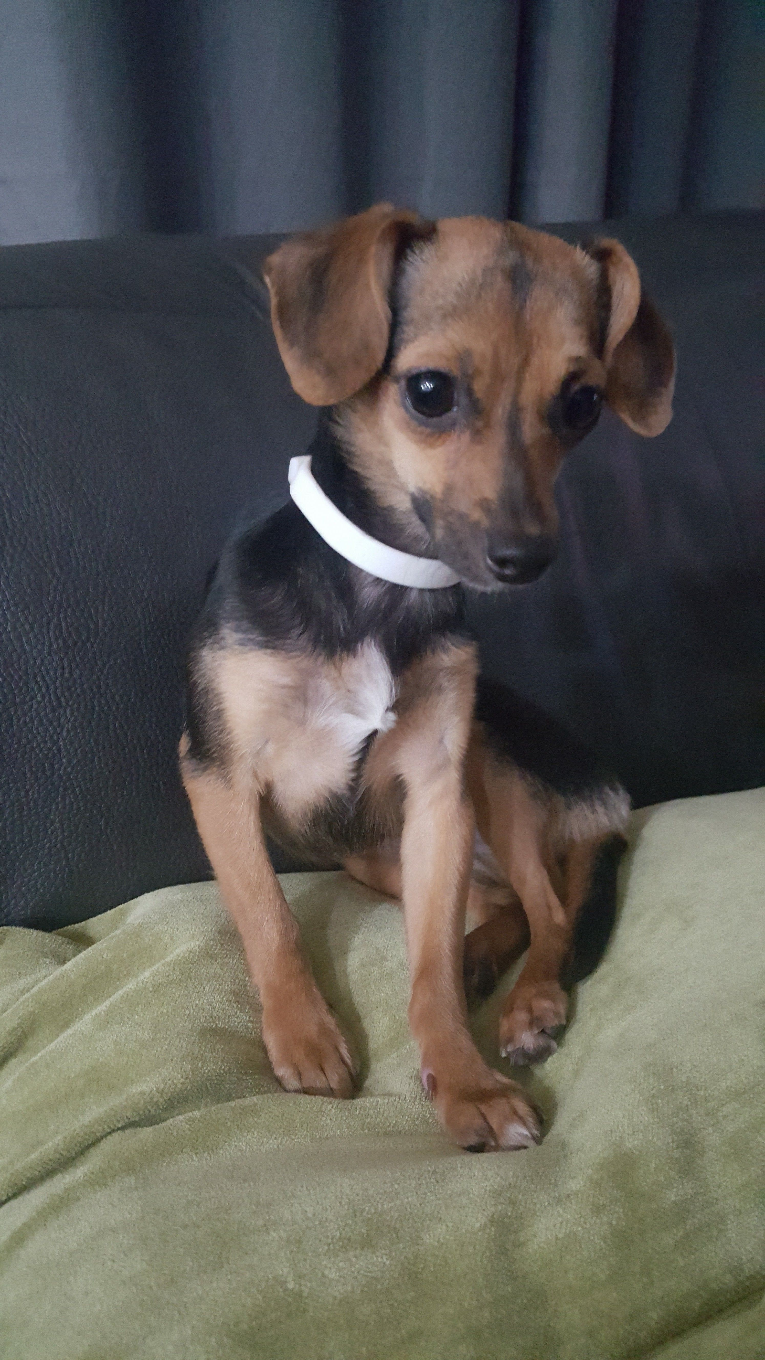 Chipin dog for Adoption in Royal Palm Beach, FL. ADN