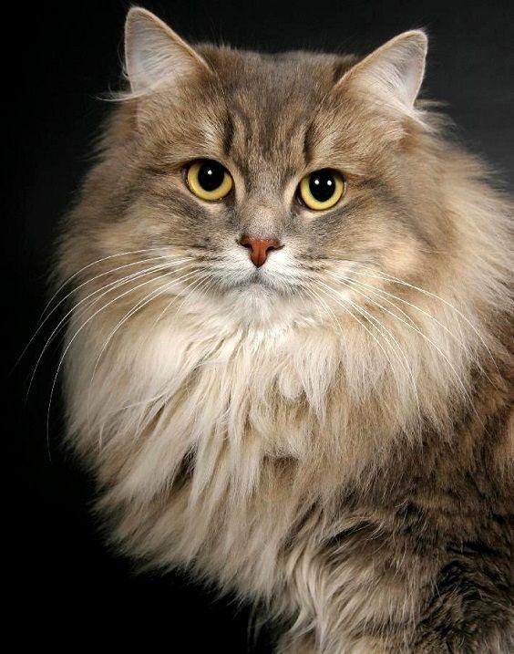 Сибирские кошки (описание, уход). Фото | Котята и кошки ...