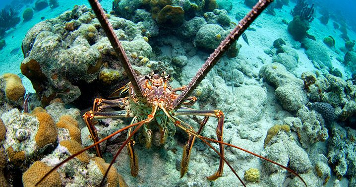 """Everything here is supersized,"" says Waitt Institute dive safety officer Joe Lapore. Cuba is renowned in the region for sustainable lobster fishing."