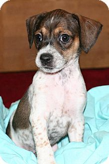 Pictures Of Santini A Rat Terrier Beagle Mix For Adoption In