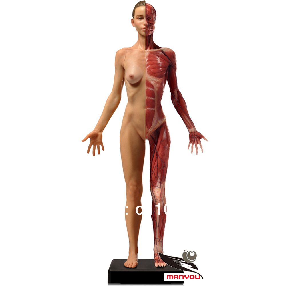 60cm Anatomy muscle model for Female,medical model,teaching aids ...