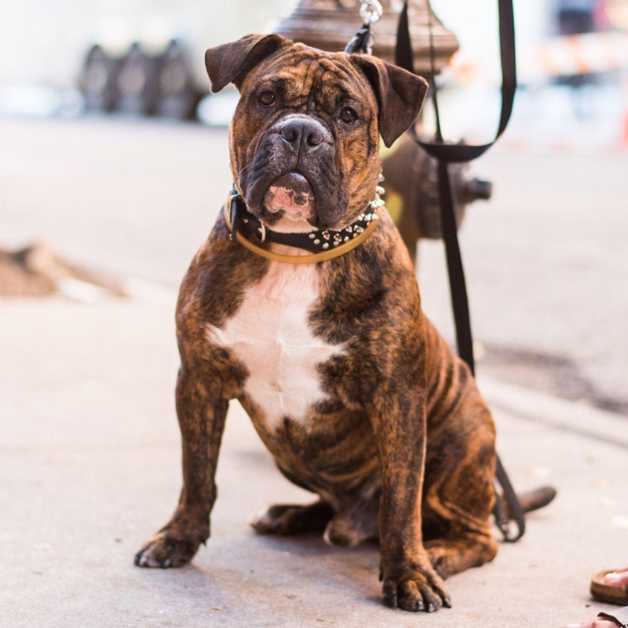 Thedogist American Bulldog Mix Olde English Bulldogge American Bulldog