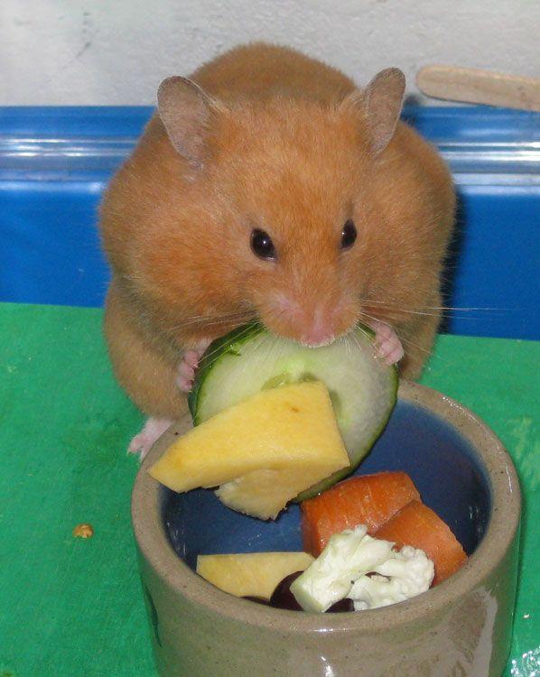 Honey-black Syrian female Katariina Pieni eating her greens
