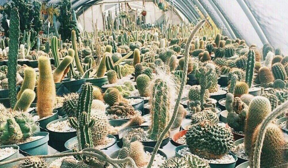 Prickly Pear Cactus At Cactus King Cactus Prickly Pear Prickly