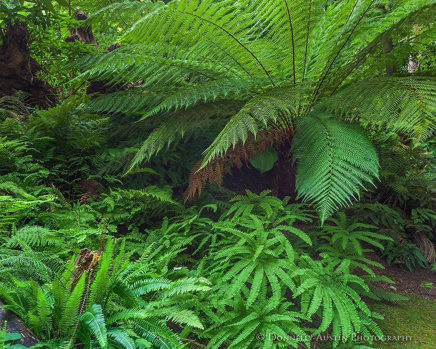 Vashon Island, WA Maidenhair fern (Adiantum sp) and tree