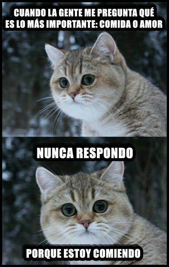 Amor O Comida Chiste De Gatos Gatitos Divertidos Humor De Gatos