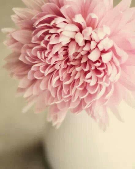 pink chrysanthemum (fall; preferred in white)