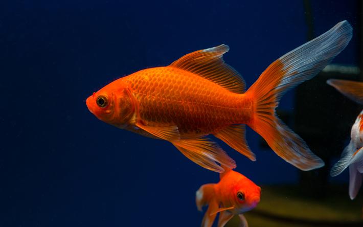 T l charger fonds d 39 cran les poissons rouges aquarium for Aquarium poisson rouge algues