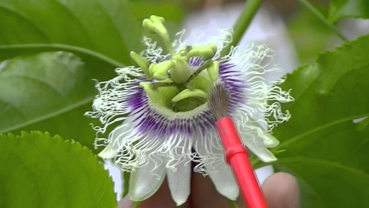 How To Pollinate Passion Fruit Flowers Fruit Flowers Flowers Flowering Vines