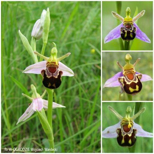 Ophrys Apifera Rodzaj Ophrys Jest Bulwiastym Storczykiem I Wytwarza Kwiaty Wygladem Przypominajace Owady Dziek Christmas Ornaments Novelty Christmas Holiday