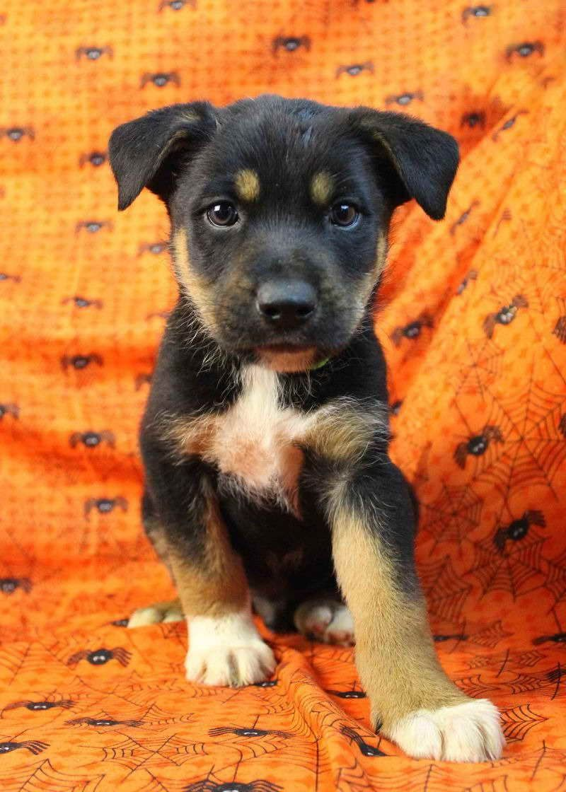 Australian Shepherd Rottweiler Mix Puppies For Sale With Images