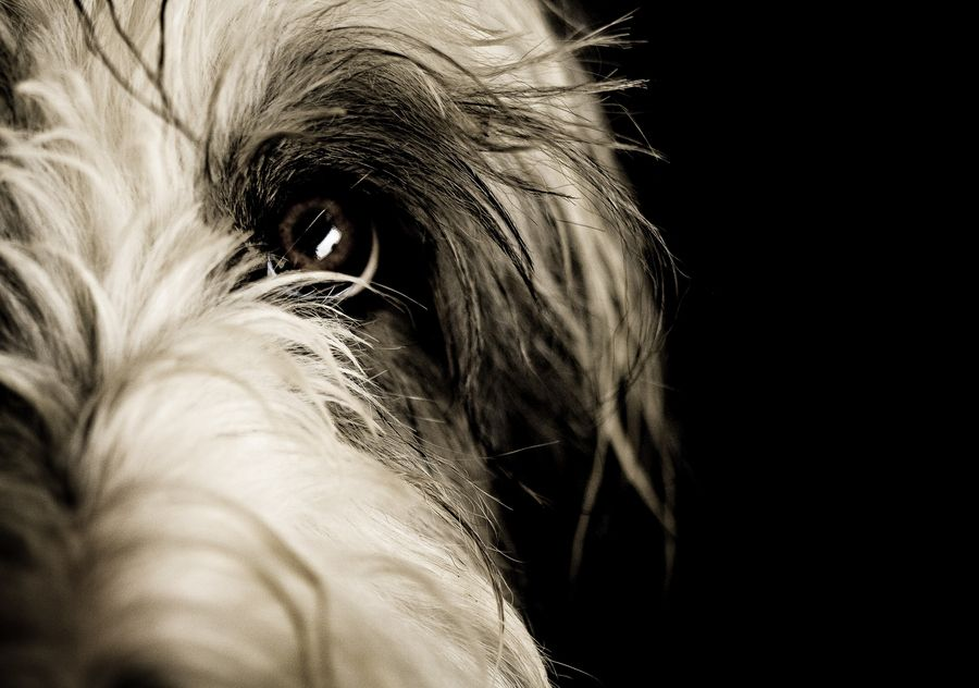 Bearded Collie 3 Bearded Collie Dog Photoshoot Dog Photography