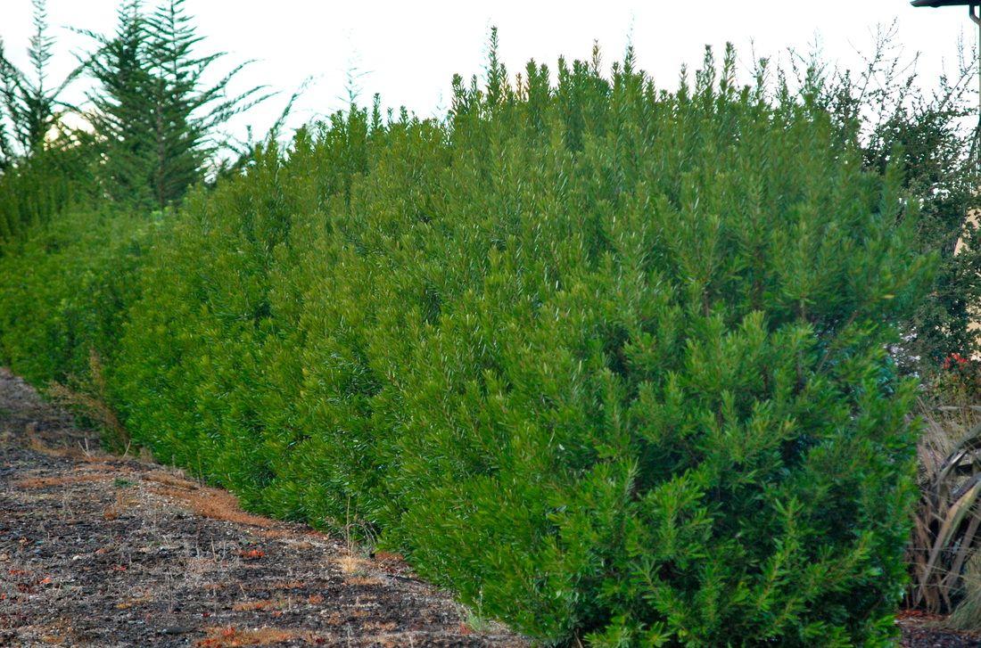 myrica californica hedge google search glen ellen pinterest