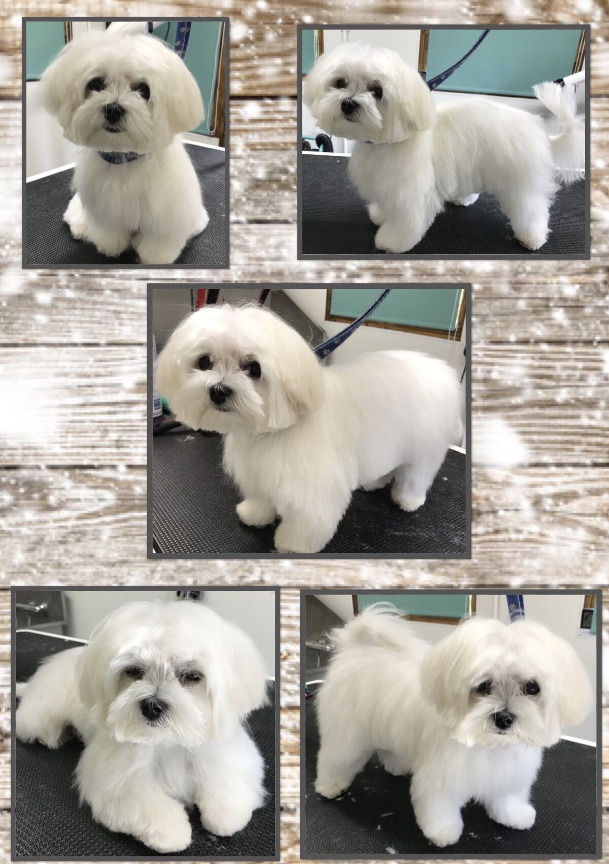 Maltese Puppy Groomed By Small Paws Dog Grooming Small Paws Dog