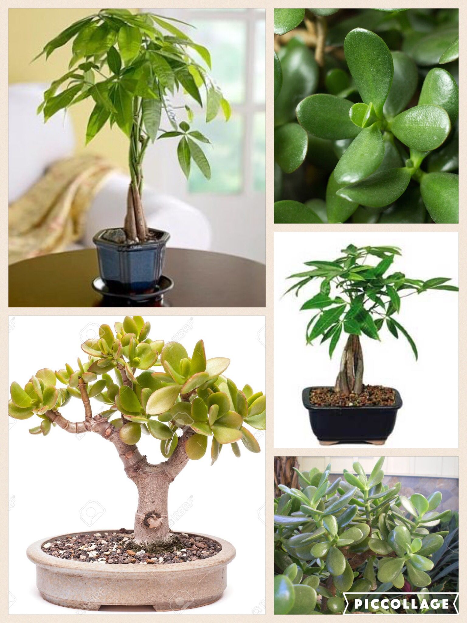 Money Plant Trees In Feng Shui Best To Place Them In The