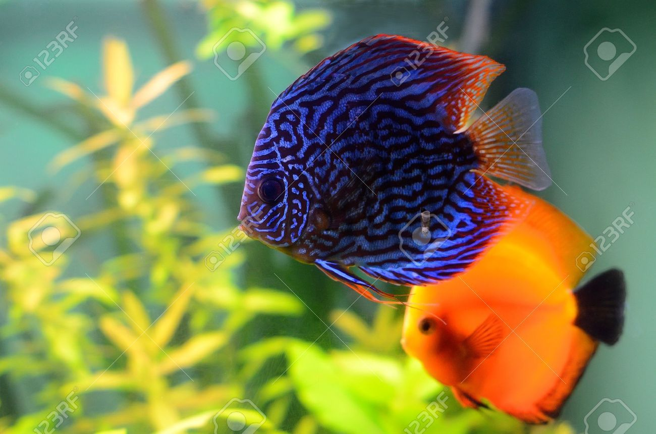 Discus Fish, I love the color and pattern on this little fellow ...