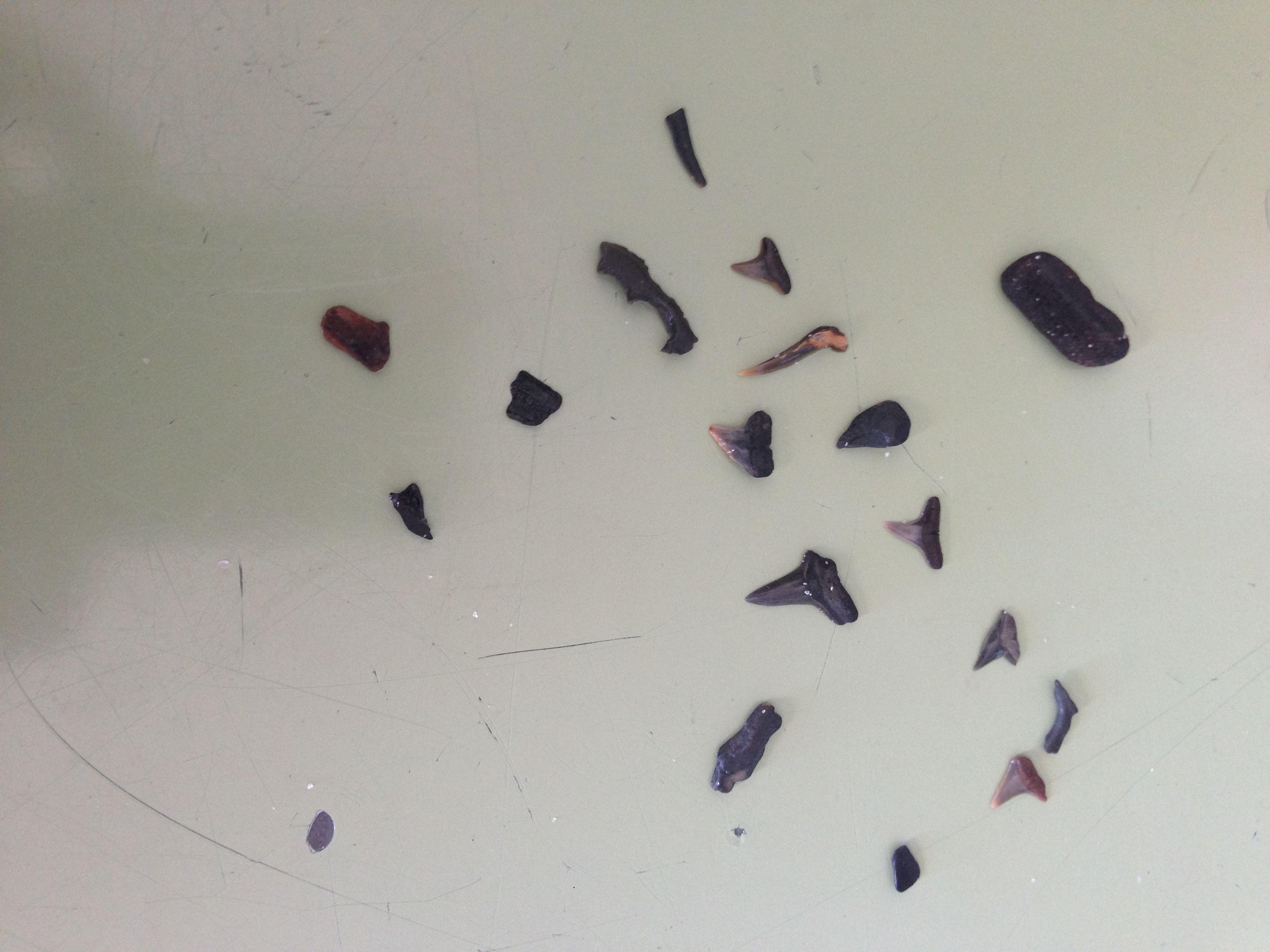 Fossils Found On Florida Beaches