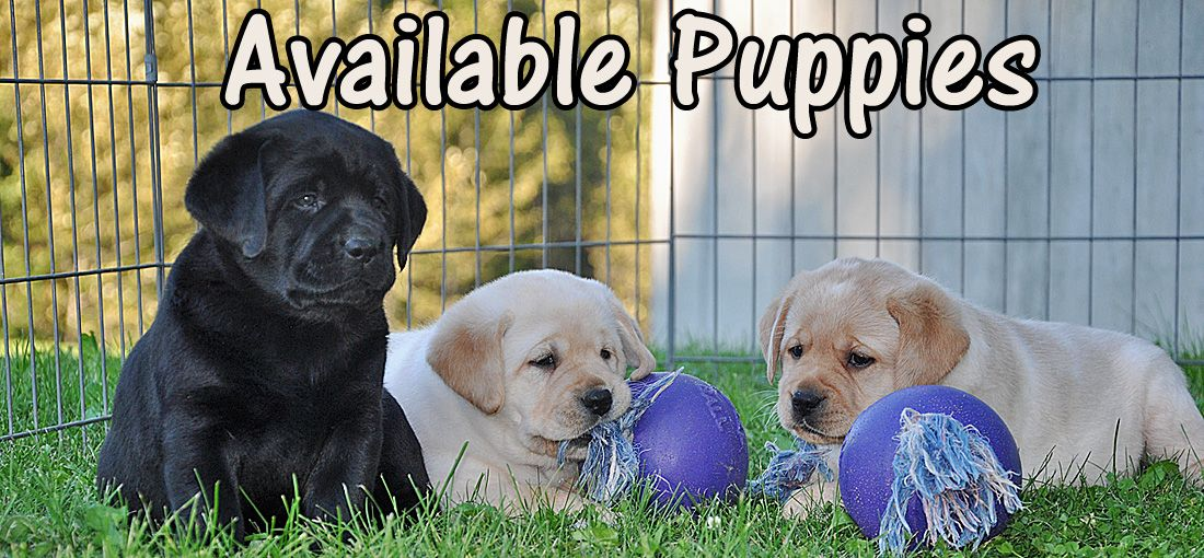 Riorock Labrador Retrievers Breeders New England New Hampshire East Coast Area Northeast Forme Yellow Lab Puppies Labrador Retriever Puppies Labrador Breeders