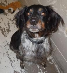 Jack Is An Adoptable Brittany Spaniel Dog In Brainerd Mn Jack Is A Purebred French Brittany Sp French Brittany Spaniel Brittany Spaniel Dogs Brittany Spaniel