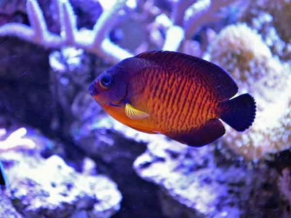 The Coral Beauty Angelfish Reef Safe What They Eat And More Pet Fish Angel Fish Saltwater Aquarium Fish