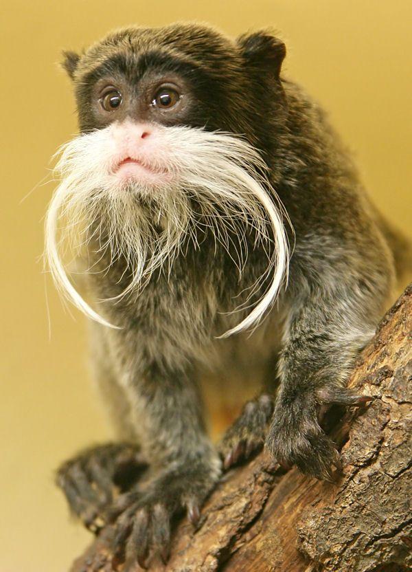 Le tamarin empereur est l 39 un des singes les plus atypiques qui soit avec sa longue moustache - Petit singe rigolo ...