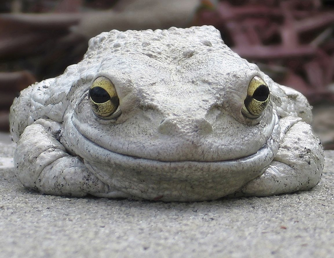 Happy Eastern Grey Tree Frog!   Frogs   Gray tree frog