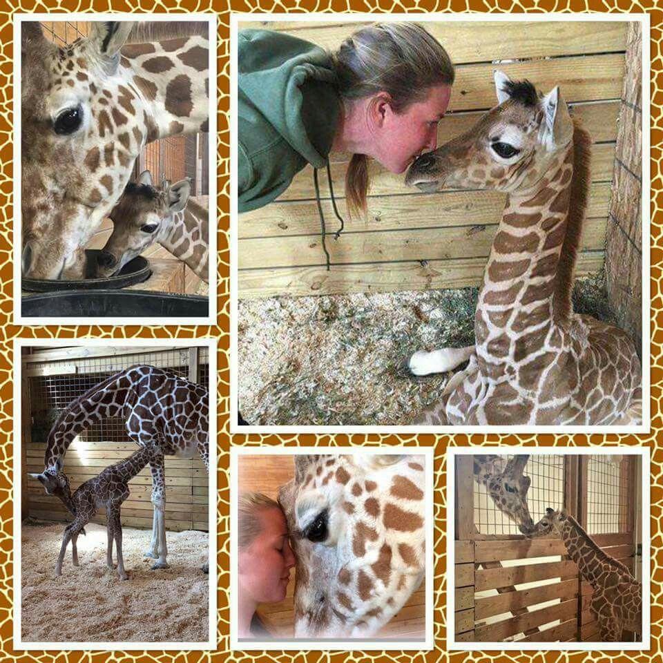 Pin by Debbie Motluck on april the giraffe Animal
