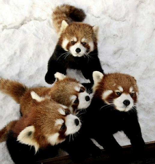 Red Pandas Animais Domesticos E Selvagens Bichinhos Fofos Pandas