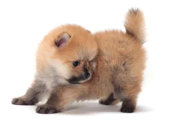 Miniature Dog Breeds That Don T Shed Dog Breeds Dogs Hunting Dogs Breeds