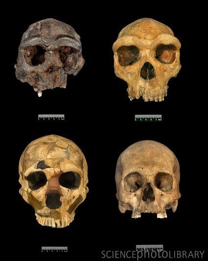 Evolution: Clockwise--Homo erectus, Homo heidelbergensis, Homo sapien, Homo neanderthalensis.