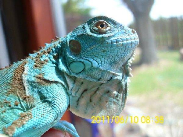 RE Petco Blue Iguanas