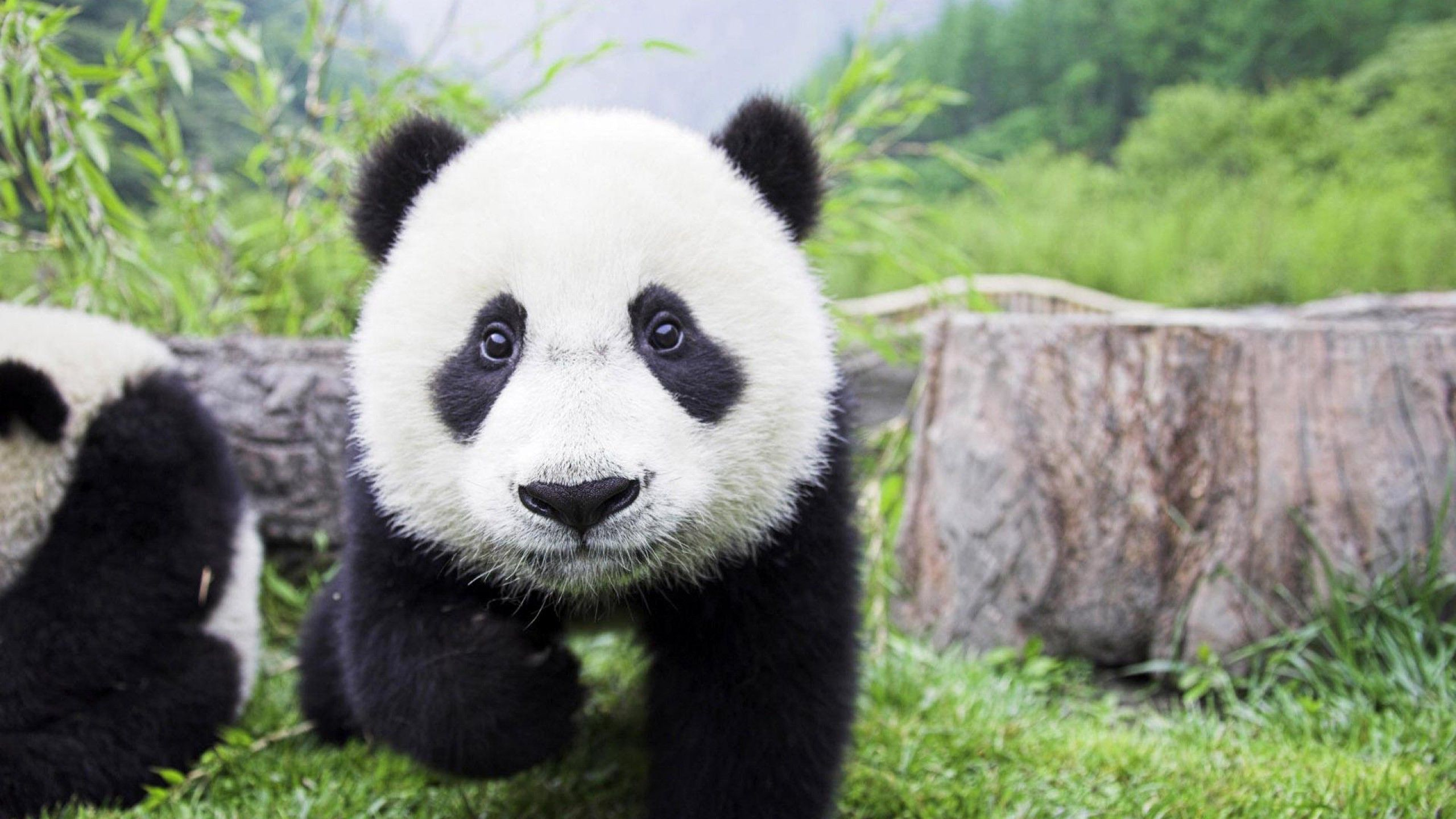 Panda Wallpaper 1920×1080 Panda Images Wallpapers (34