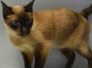 Super Urgent Senior With Health Issues Lovely Friendly Chocolate Point Siamese Lea A1061539 Lea Is A 10 Yr O With Images Cats And Kittens Cat Adoption Support Animal