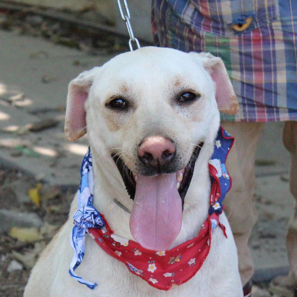 Name AFu Lab Mix Age 2 year old Neutered Male Dog