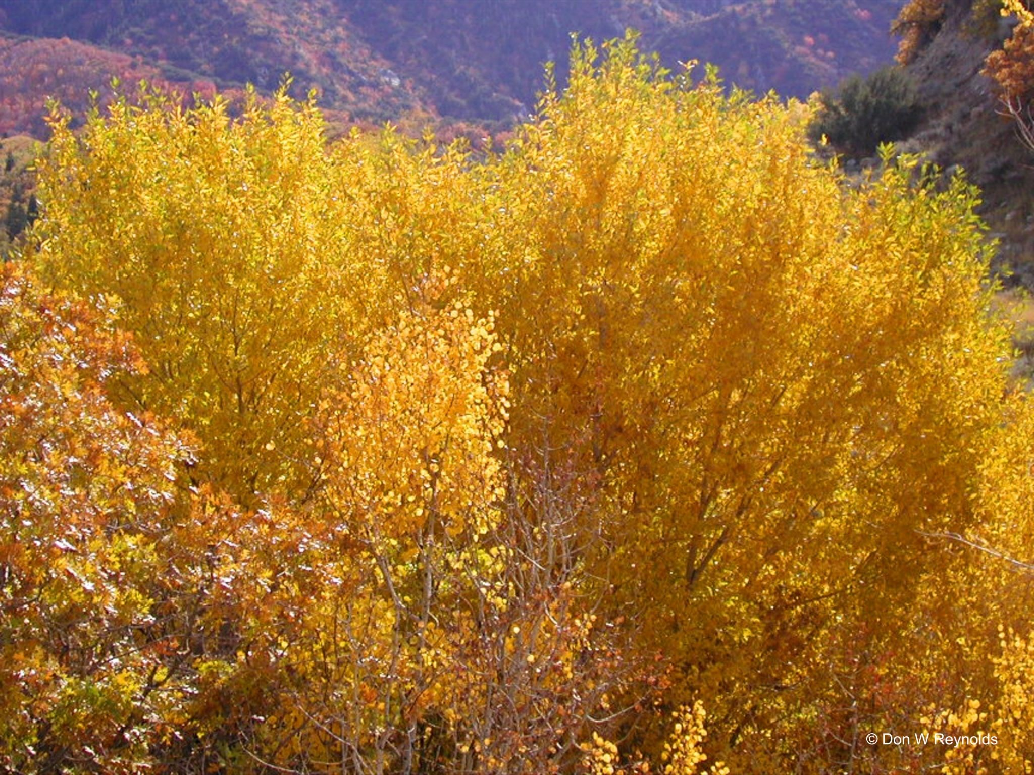 Bells Canyon tree yellow
