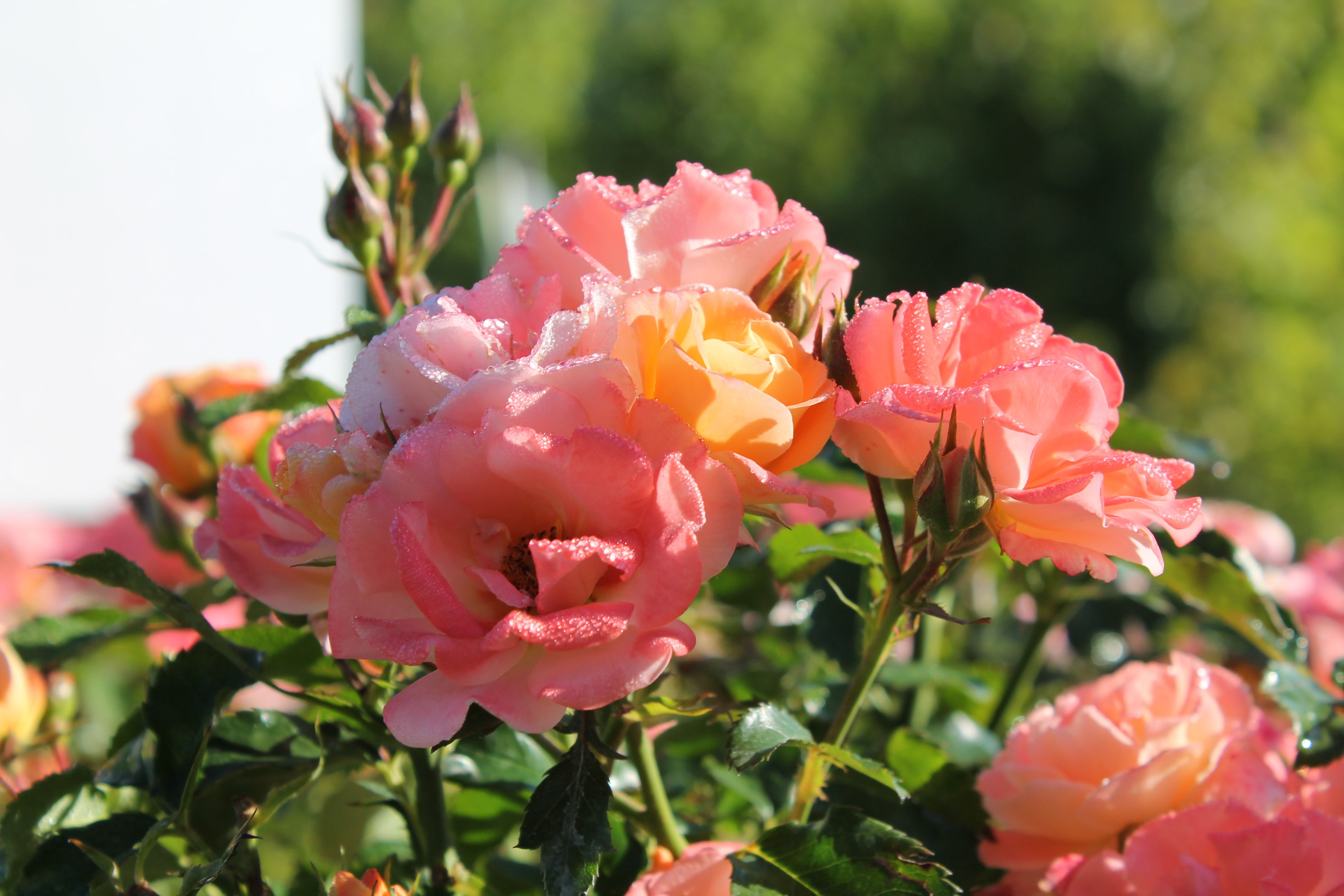 Floribunda rose sunsprite sexy rexy