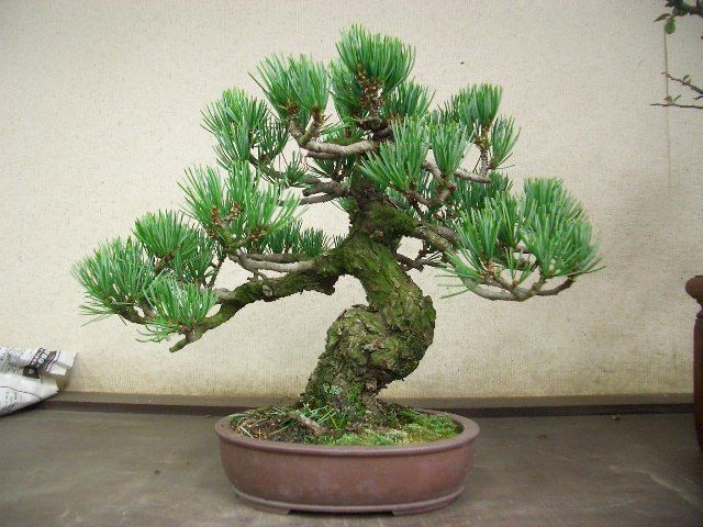 Wondrous 3 Wiring A Guide To Basics Bonsai Style Secret Of Shaping Wiring Cloud Hisonuggs Outletorg