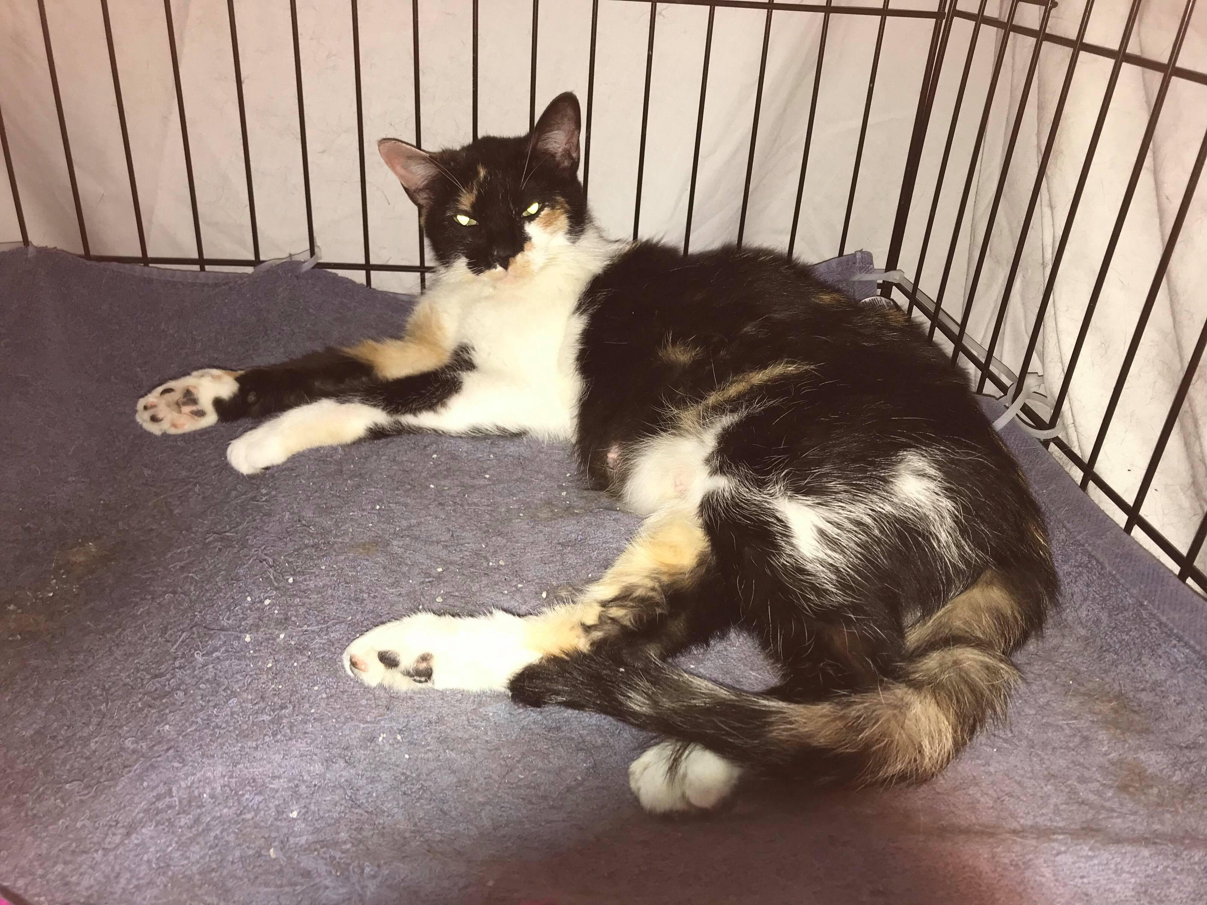 Adopt Duchess On Petfinder Help Homeless Pets Homeless Pets Cat Adoption