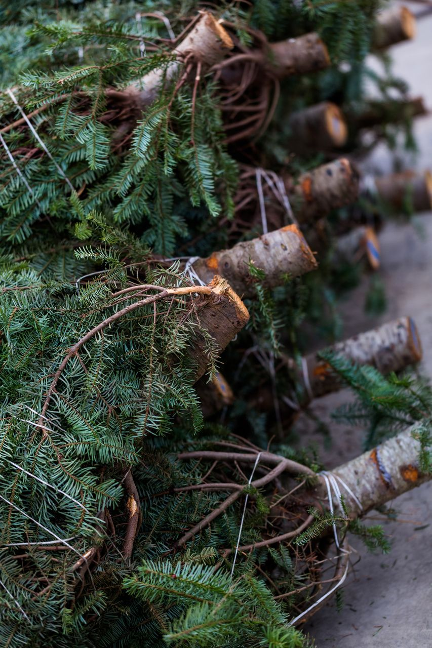 How to Care for Your Christmas Tree | Christmas tree care ...