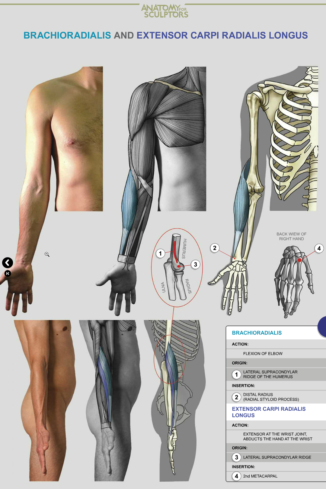 Pin by Hurlington SEPULVEDA CAMPOS on ANATOMÍA | Pinterest | Anatomy ...