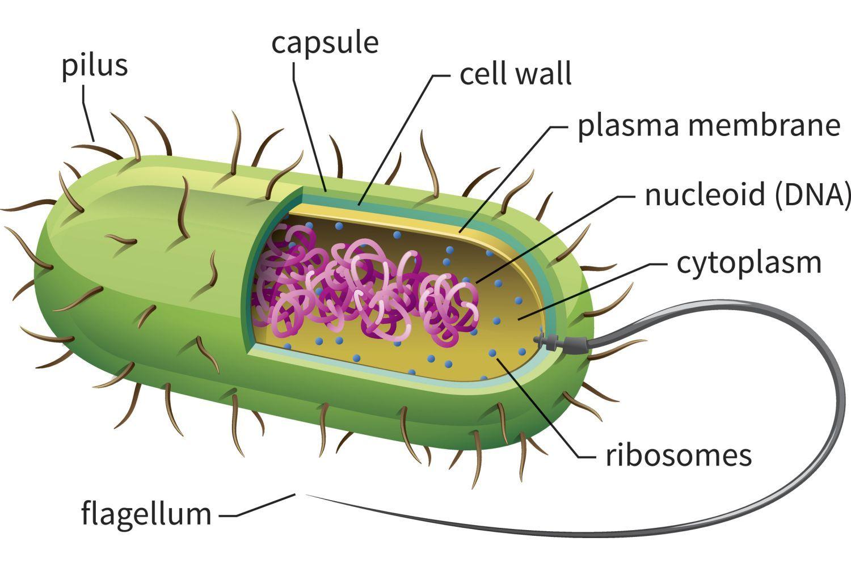 Learn About Prokaryotic Cells, Prokaryotes - Bacteria and