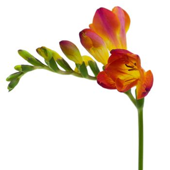 Red Freesia Flower Fiftyflowers Com Freesia Flowers Bridesmaid Flowers Flowers