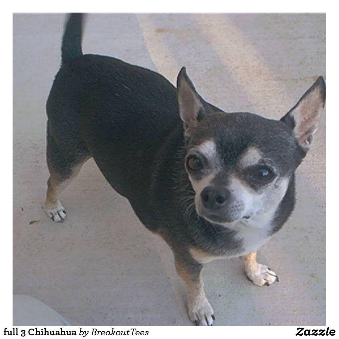 full 3 Chihuahua chihuahua Chihuahua, Chihuahua dogs