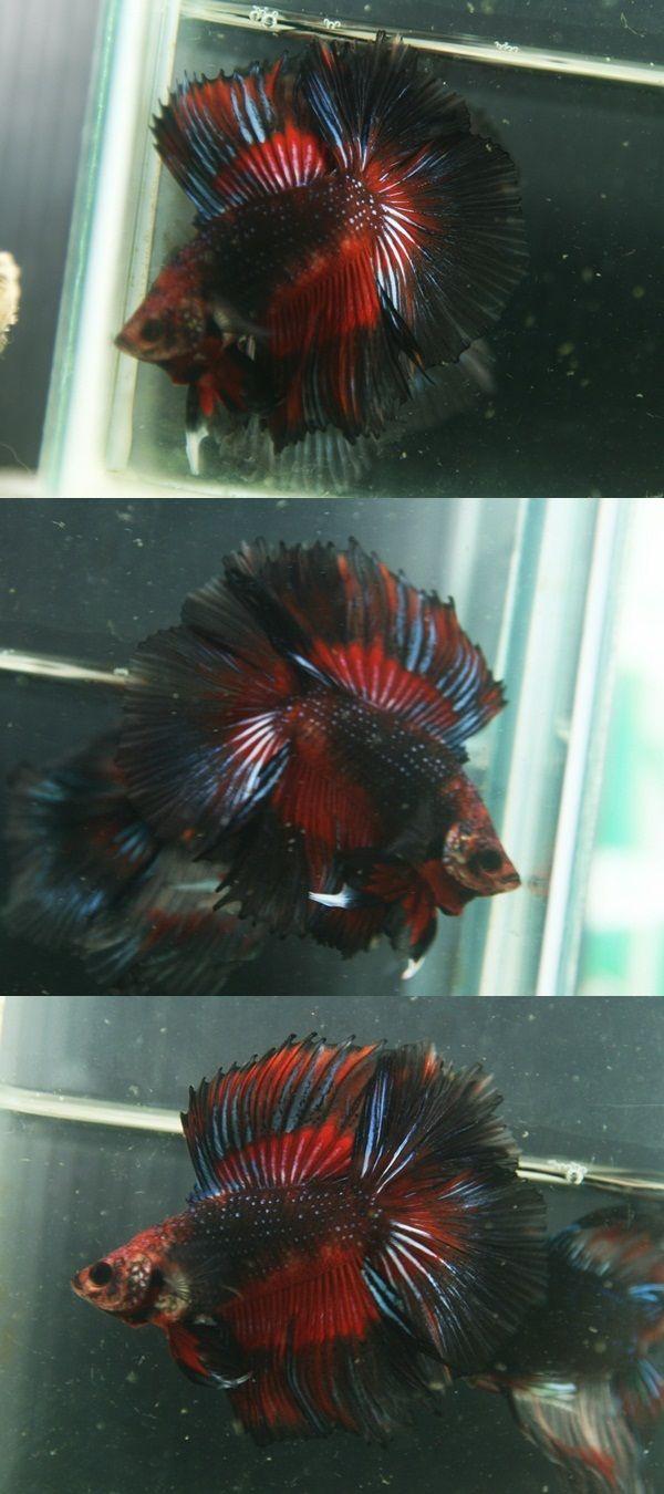 Fwbettashm1414932657 Fullmoon Male T242 Tropical Fish Tanks Betta Fish Betta